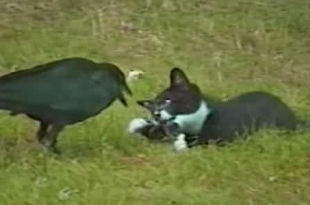 Câu chuyện có thật về tình bạn sâu đậm kỳ lạ giữa quạ và mèo