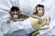 Trung Quốc: 2 con khỉ đầu tiên trên thế giới ra đời nhờ sinh sản vô tính