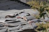 ĐSQ Việt Nam tại Chile: Vây cá mập được mua ở chợ dân sinh để sử dụng trong gia đình
