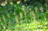 Tản văn: Hoa cỏ may tôi yêu