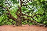 15 cây cổ thụ đặc biệt được xem như báu vật của nước Mỹ (P.1)