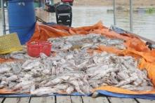 Gần 1.000 tấn cá lồng bè chết trắng sông La Ngà