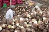 Trung Quốc giảm mua, khoai môn rớt giá từ 30.000 xuống 7.000 đồng/kg