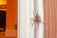 Vì sao không nên giết nhện sống trong nhà bạn?