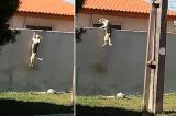 chó vượt tường