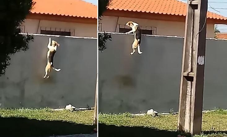 Thú vị: Chú chó vượt tường 7 lần cuối cùng đã thành công