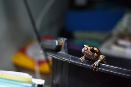 'Con ếch Việt Nam'