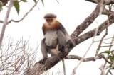 Bảo tồn voọc chà vá chân xám quý hiếm tại Quảng Nam