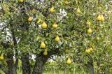 Bài học từ cây lê qua 4 mùa