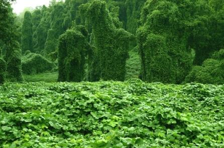 """Loài cây bị Mỹ xem là """"sát thủ sinh thái"""" nhưng lại quý như nhân sâm ở TQ"""