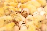 """trứng gà """"không sát sinh"""""""