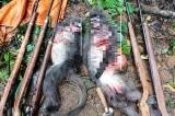 Nghệ An: Hai cá thể voọc xám quý hiếm bị bắn chết