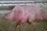 FAO khuyến nghị Việt Nam ban bố tình trạng khẩn cấp về dịch tả lợn châu Phi