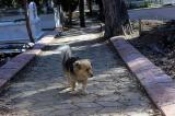 Cảm động chú chó nhỏ chạy đi thăm mộ chủ mỗi sáng