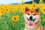 Bộ ảnh chú chó Shiba dễ thương nhất Nhật Bản tạo dáng với hoa