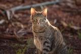 Úc: Dùng xúc xích để tiêu diệt hàng loạt mèo hoang