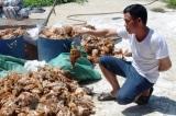 Trang trại gà bị ném đá, hơn 1.200 con bị chết