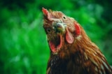 """Vụ kiện hiếm thấy ở Pháp: Bị cáo là một """"con gà trống"""""""