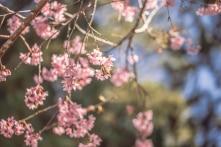 Ngắm hoa Mai anh đào Đà Lạt nở bung tháng đầu năm 2020