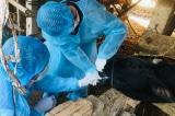 Dịch lở mồm long móng bùng phát tại Quảng Ngãi