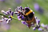 Ong nghệ biết cách kích thích cây ra hoa khi phấn hoa khan hiếm