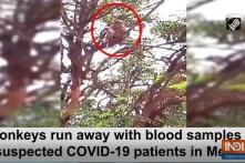 Bầy khỉ cướp mẫu máu xét nghiệm COVID-19 của nhân viên y tế
