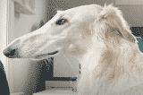 """""""Chú chó mặt ngựa"""" có chiếc mõm dài tới 31cm"""