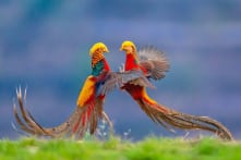 20+ loài chim tuyệt đẹp có thể bạn chưa từng nghe đến (P.2)