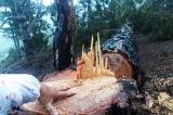 Phá rừng ở vùng lõi Khu dự trữ sinh quyển thế giới Langbiang